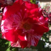"Location: Palatine Roses in Niagara-on-the-LakeDate: 2016-06-25different amounts of pink & white ""broken color"" in each red bloo"