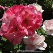 Location: Palatine Roses in Niagara-on-the-LakeDate: 2016-06-25shows variability between old & new blooms