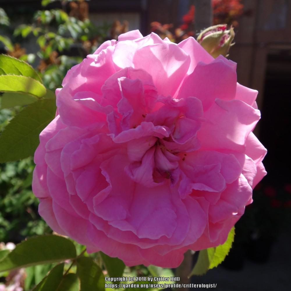 Photo of Rose (Rosa 'Gros Choux d'Hollande') uploaded by critterologist