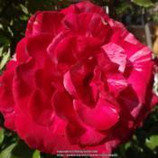 Location: Palatine Roses in Niagara-on-the-LakeDate: 2016-06-25