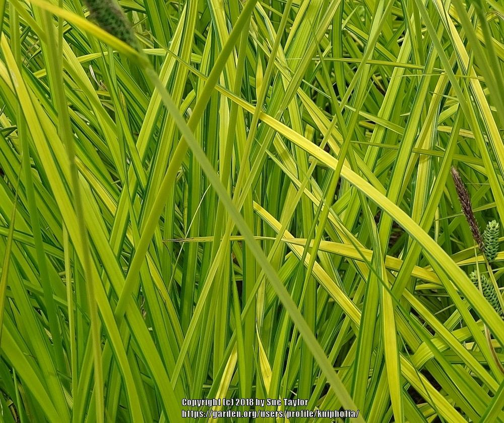 Photo of Bowles' Golden Sedge (Carex elata 'Aurea') uploaded by kniphofia