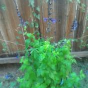 Location: Gardnerville, NevadaDate: 2017-09-16Grown from seed