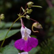 "Location: Clinton, Michigan 49236Date: 2017-07-13""Impatiens balfourii , 2017, Poor Man's Orchid, Balfour"