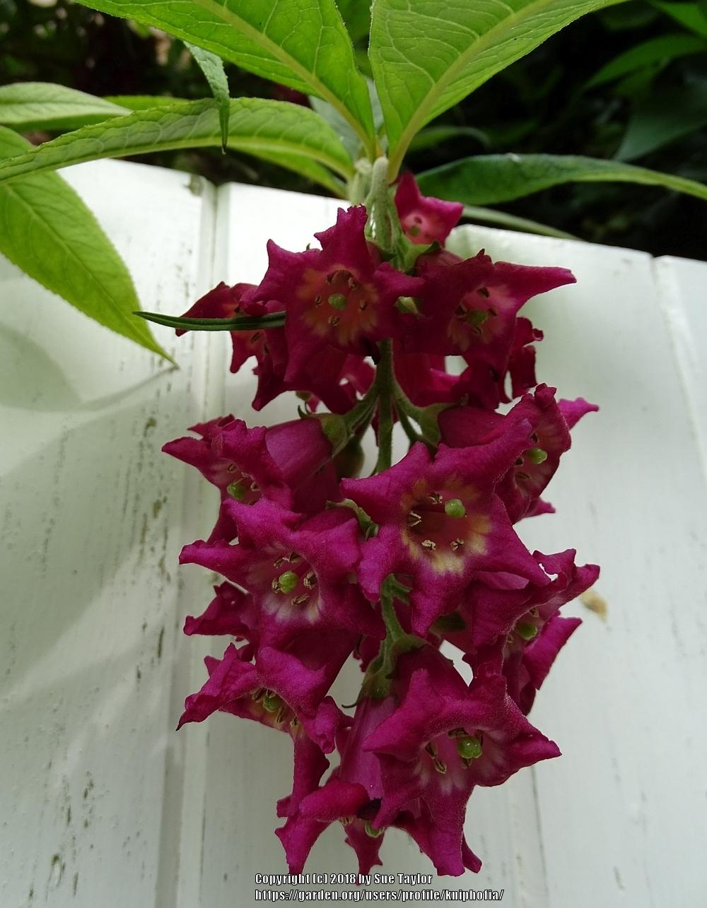 Photo of Buddleja colvilei uploaded by kniphofia