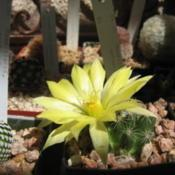 Location: San Diego, CADate: 2015-06-20Mammillaria sphaerica flower, larger than the size of t