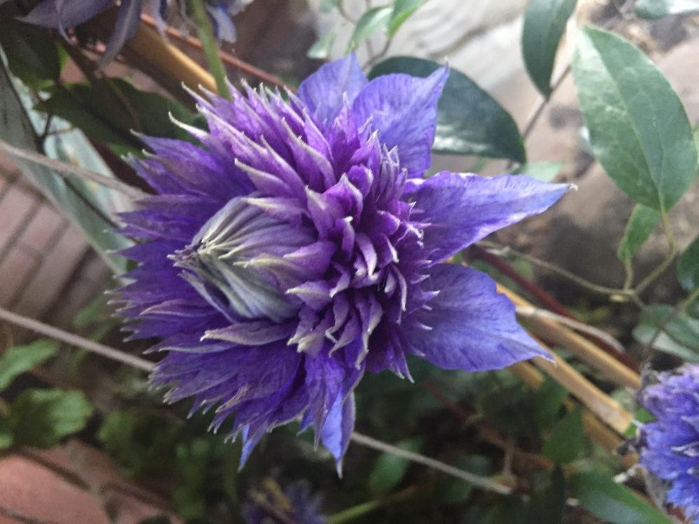 Photo of Clematis 'Multi Blue' uploaded by SpringGreenThumb