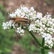 Location: Brownstown PennsylvaniaDate: 2018-06-01Soldier Beetle on Valerian Flower