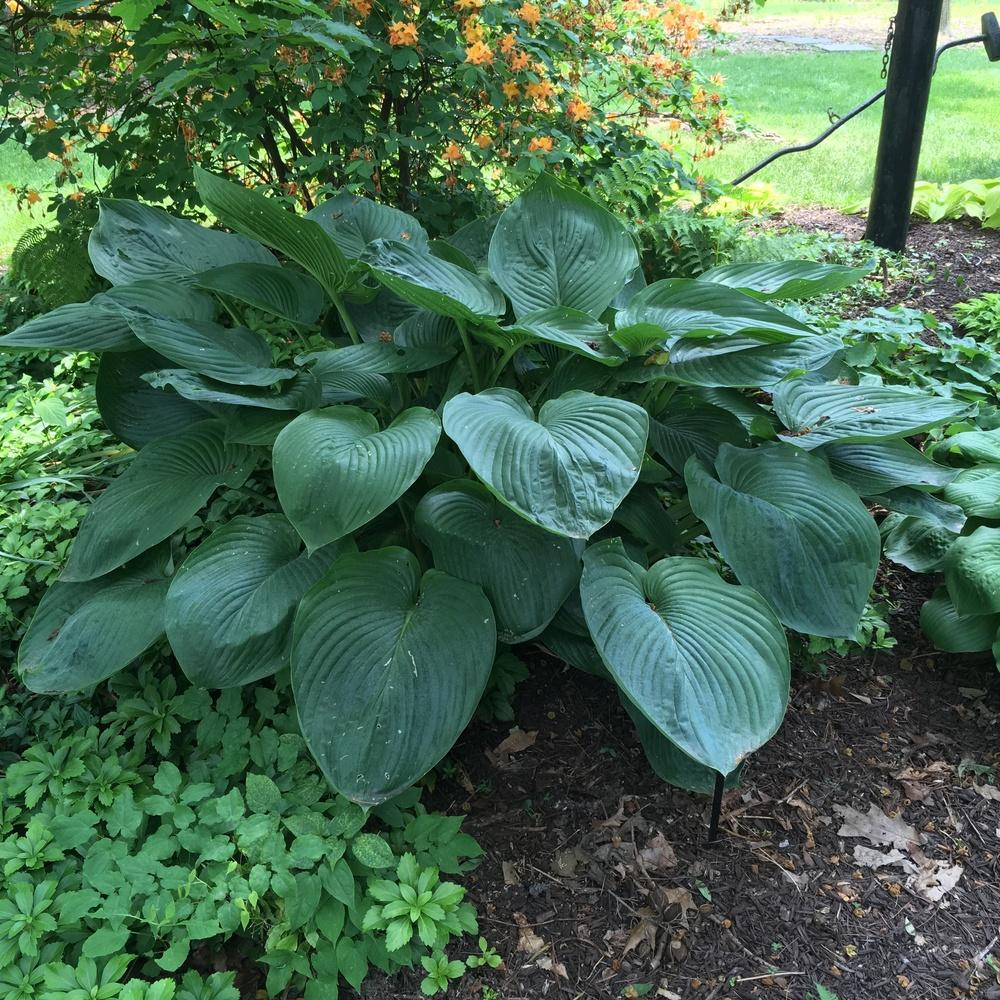 Photo of Hosta 'Empress Wu' uploaded by csandt