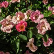 "Location: Clinton, Michigan 49236Date: 2016-06-08""Rosa 'Radcor', 2016, RAINBOW KNOCKOUT™ Shrub Rose, ROE-zuh, 3x"
