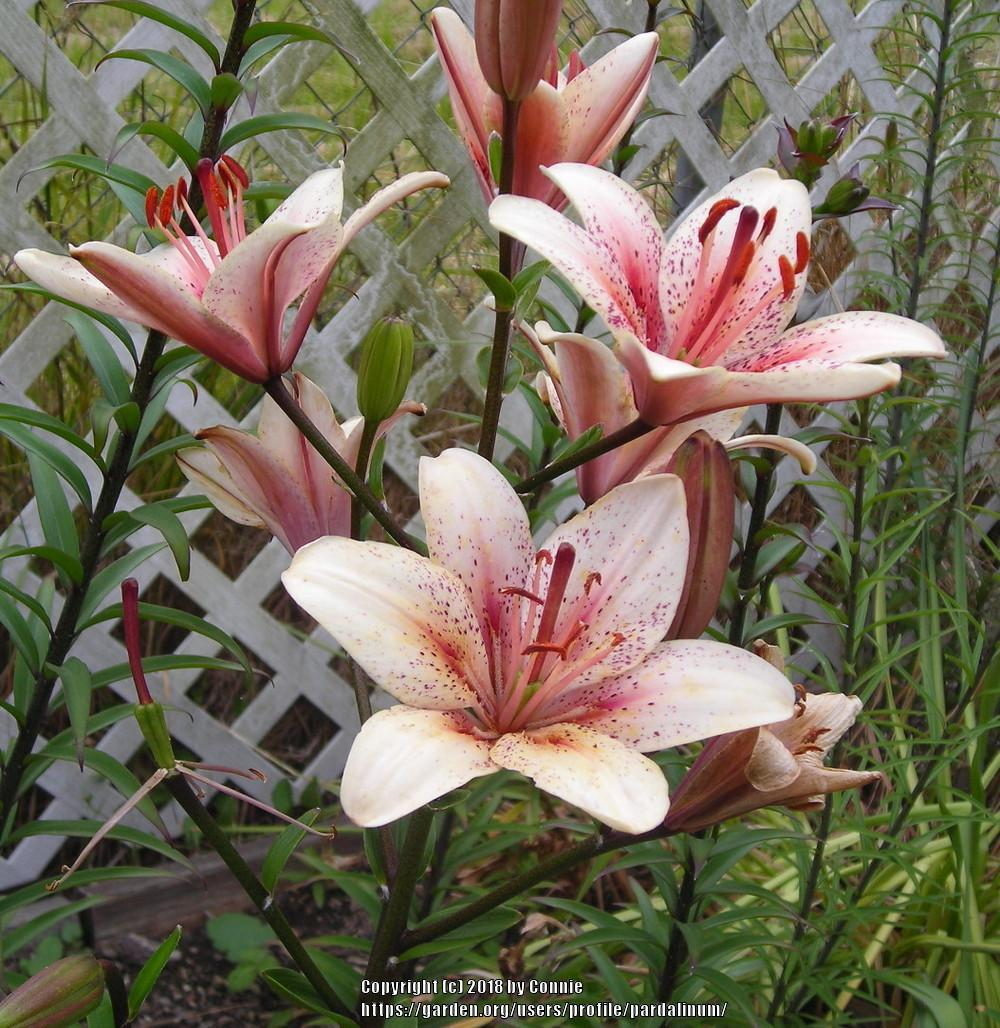 Lilies plant care and collection of varieties garden add or edit informational text about this plant izmirmasajfo