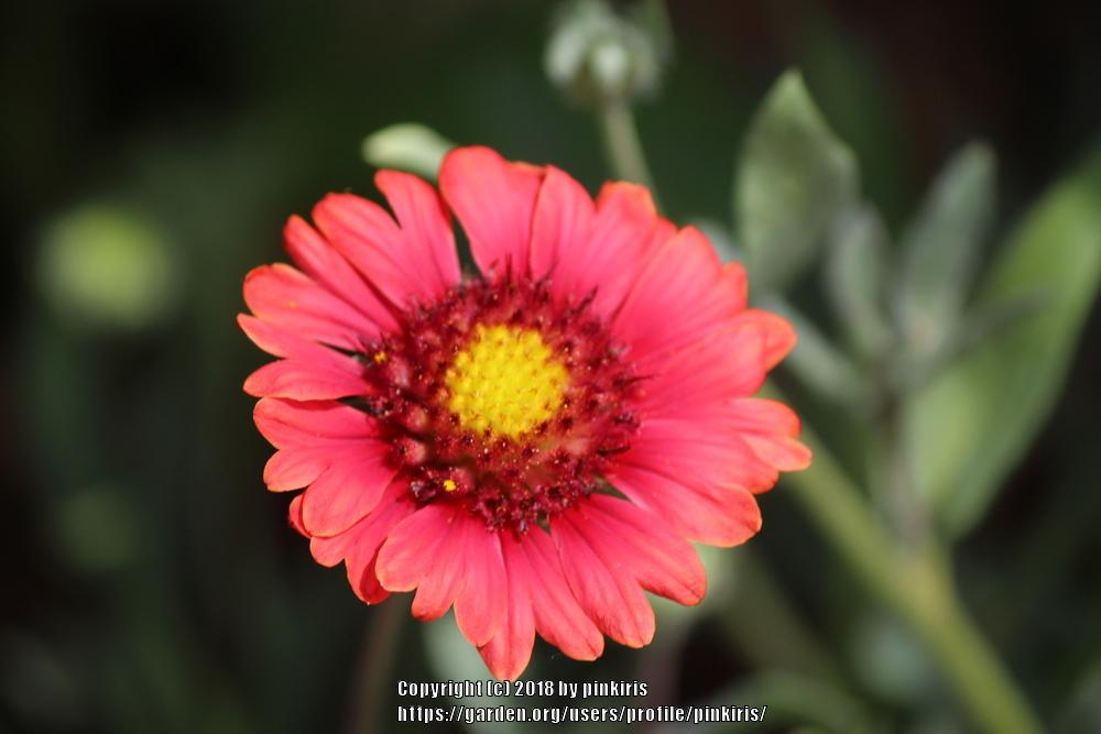 Photo of Blanket Flower (Gaillardia Mesa™ Red) uploaded by pinkiris
