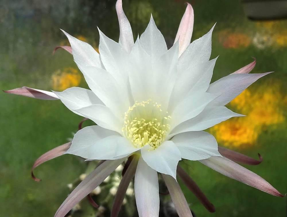 Photo of Violet Easter Lily Cactus (Echinopsis obrepanda) uploaded by Orsola