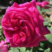 Location: Heritage Rose Garden, Elizabeth Park, Hartford, Connecticut, USADate: 2018-06-16
