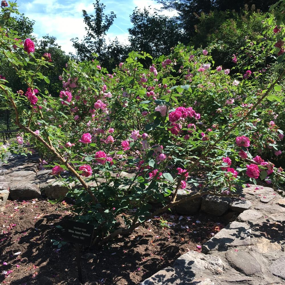 Photo of Rose (Rosa 'Madame Isaac Pereire') uploaded by csandt