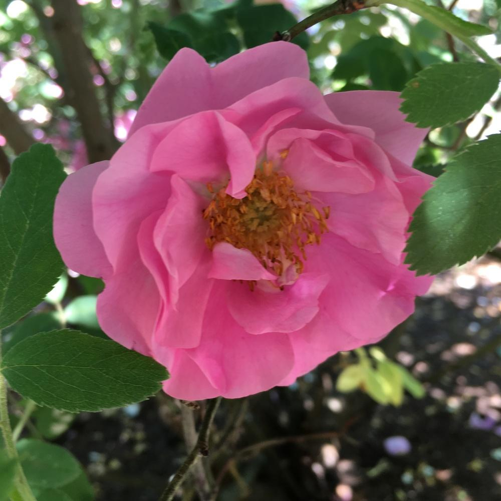 Photo of Rose (Rosa 'Imperatrice Josephine') uploaded by csandt