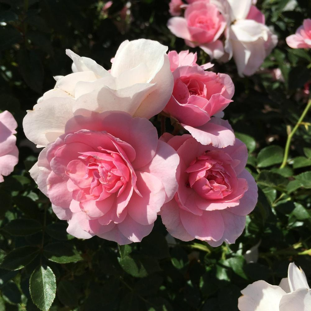 Photo of Rose (Rosa 'Bonica') uploaded by csandt