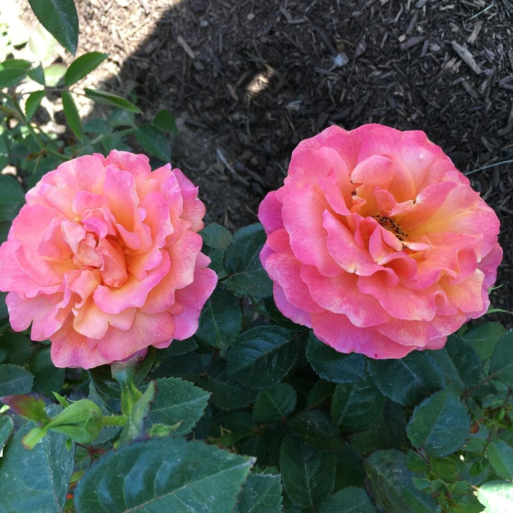 Photo of Rose (Rosa 'Easy Does It') uploaded by csandt
