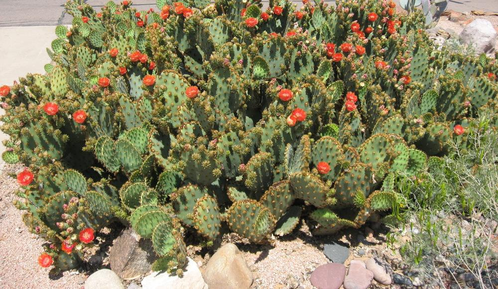 Photo of Prickly Pears (Opuntia) uploaded by plantmanager