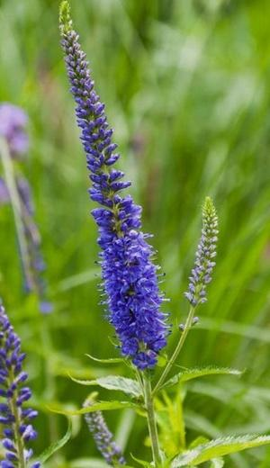 Photo of Speedwell (Veronica longifolia 'Blue Giant') uploaded by SongofJoy