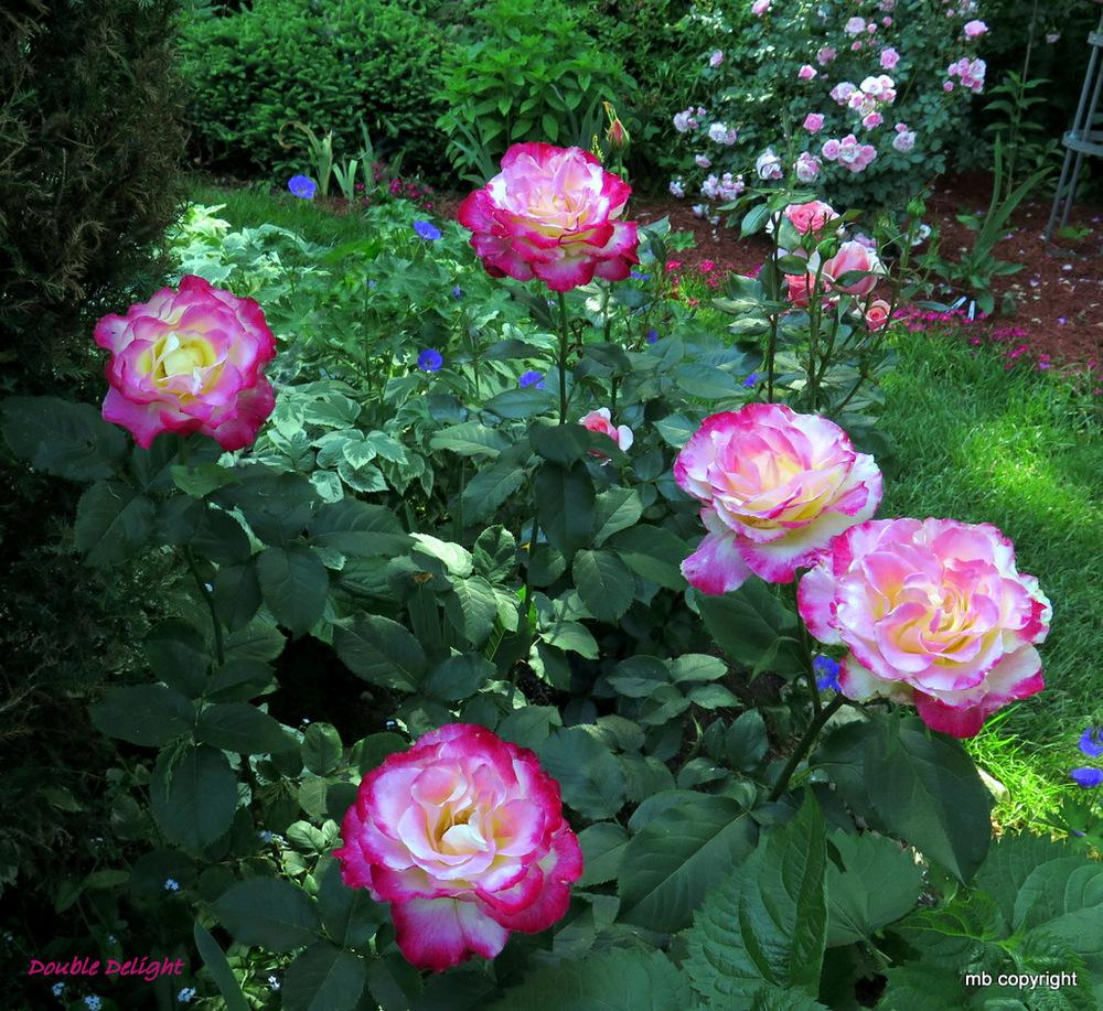 Photo of Rose (Rosa 'Double Delight') uploaded by MargieNY