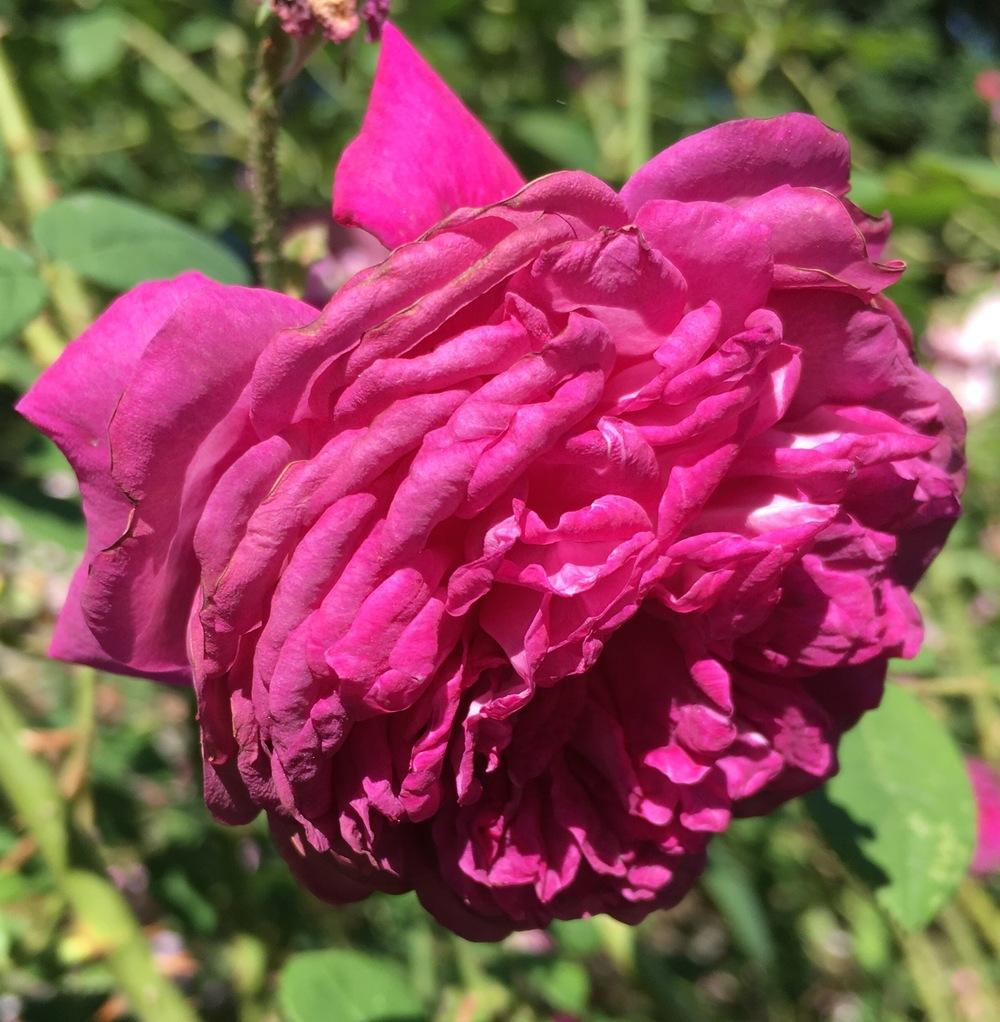 Photo of Rose (Rosa 'Frederic II de Prusse') uploaded by csandt