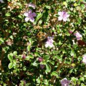Location: Charleston, SCDate: 2018-04-01Bumblebees love this plant!