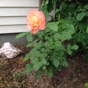 Location: In my garden, Falls Church, VADate: 2018-05-27This rose is growing on original root stock