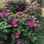 Location: Rose Garden, Elizabeth Park, Hartford, Connecticut, USADate: 2018-06-16