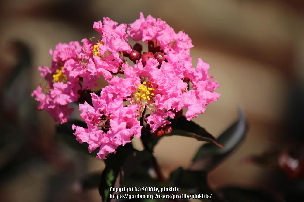Photo of Crepe Myrtle (Lagerstroemia Delta Jazz™) uploaded by pinkiris