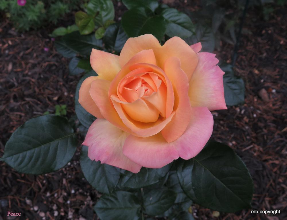 Photo of Rose (Rosa 'Peace') uploaded by MargieNY