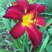 Location: My garden, Pequea, Pennsylvania, USADate: 2018-06-27A gorgeous plant from Oakes Daylilies (part of a Raffle That is N
