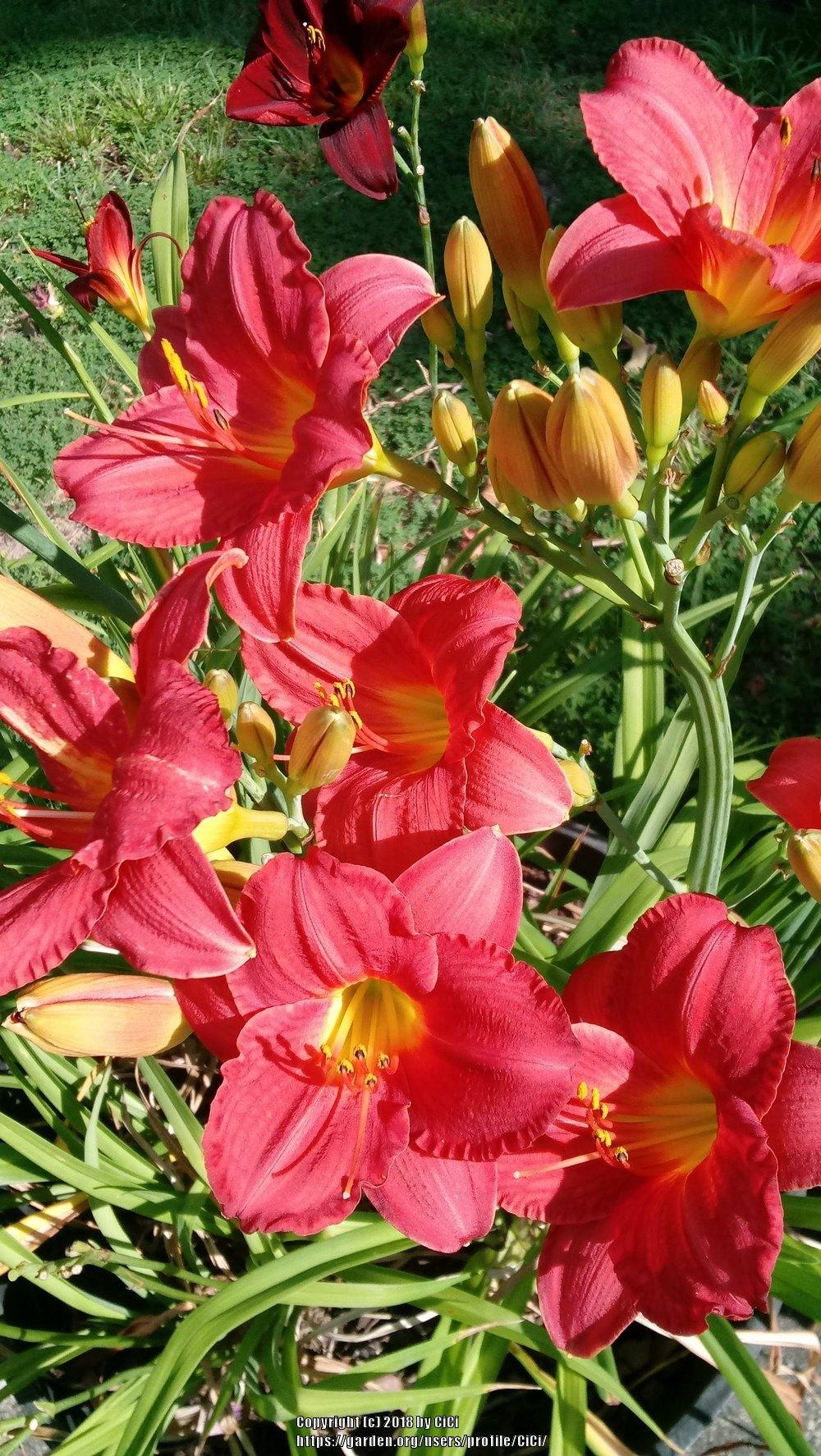 Photo Of The Bloom Of Daylily Hemerocallis Mexican Maiden Posted