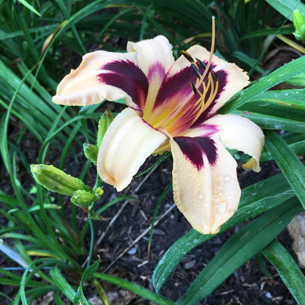 Photo of Daylily (Hemerocallis 'Egyptian Queen') uploaded by csandt
