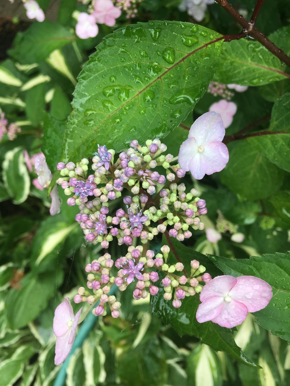 Photo of Lacecap Hydrangea (Hydrangea macrophylla 'Lady in Red') uploaded by Lucichar