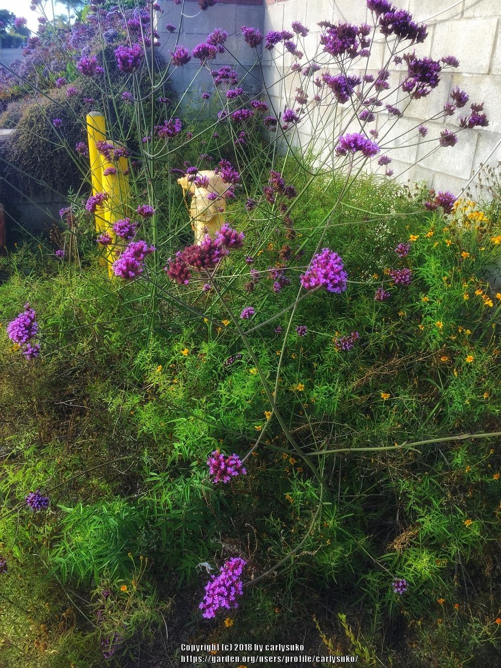 Photo of Tall Verbena (Verbena bonariensis) uploaded by carlysuko