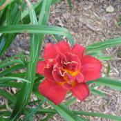 Location: Front yard-Salisbury, MDDate: 2018-06-26Highland Lord blooms in June