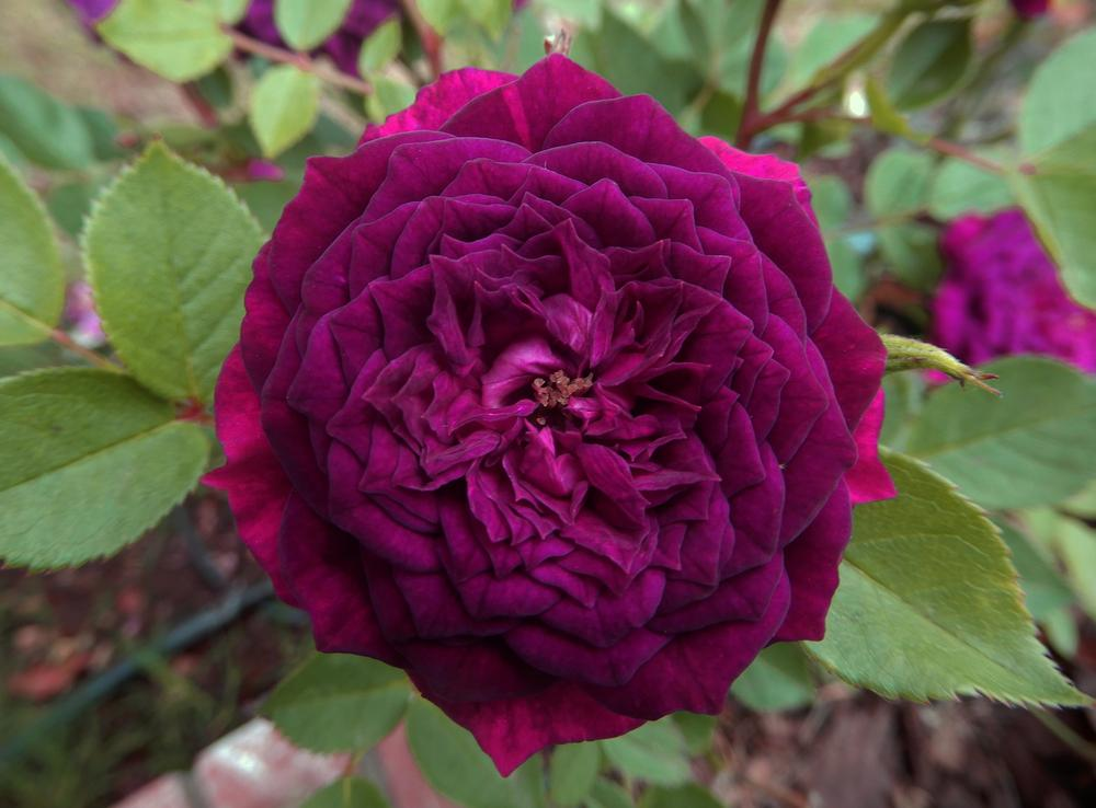 Photo of Rose (Rosa 'Carolyn Supinger') uploaded by jerijen