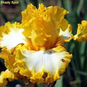 Image courtesy of The Shady Spot Iris. All rights reserved.