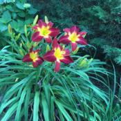 Location: My garden, Pequea, Pennsylvania, USADate: 2018-07-02Lovely, reliable blooms; excellent clump; a top favorit