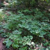 Location: Mount Cuba Center, Hockessin, DelawareDate: 2018-06-29a patch within the woods