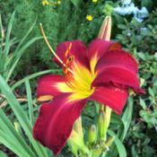 Location: My garden, Pequea, Pennsylvania, USADate: 2018-07-03Spider Man's saturated red blooms are gorgeous! Heat wave in prog