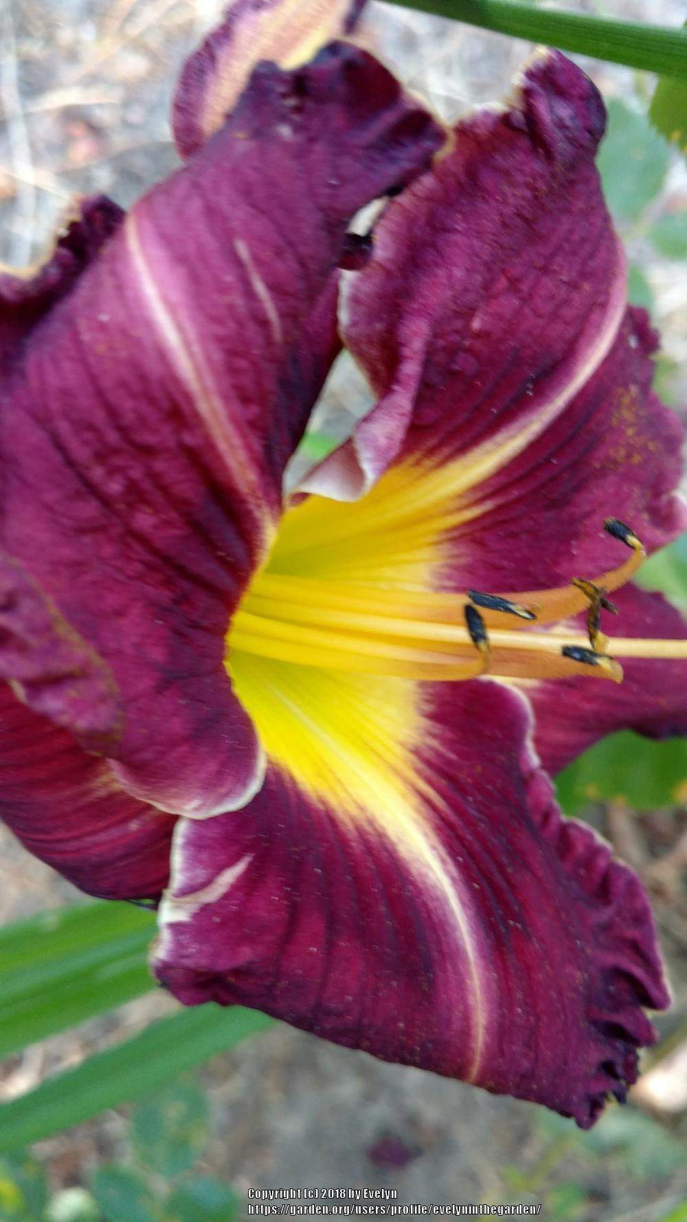 Photo of Daylilies (Hemerocallis) uploaded by evelyninthegarden