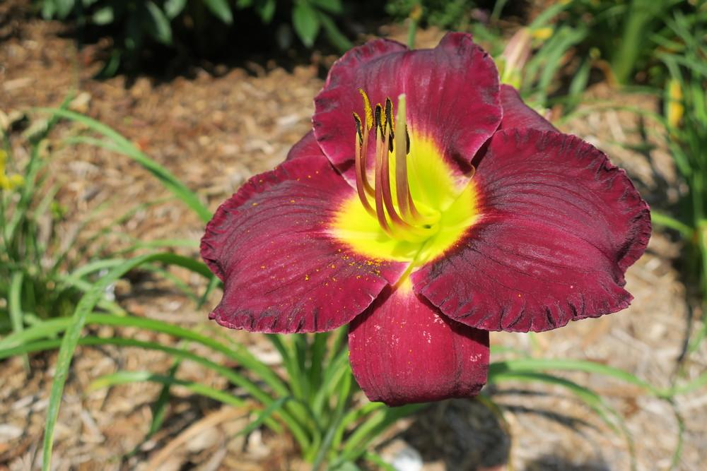 Photo of Daylily (Hemerocallis 'Bela Lugosi') uploaded by 2Dogsmother