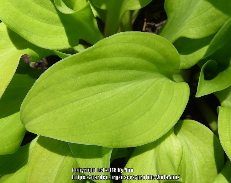 Photo Of The Leaves Of Hosta Sun Mouse Posted By Violaann Gardenorg