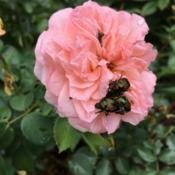Location: My garden, Pequea, Pennsylvania, USADate: 2018-07-04The plague has arrived: first sighting of Japanese beetles in 201