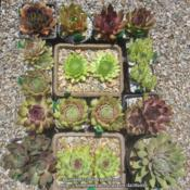 Location: Massachusetts gardenDate: July 05, 2018displaying wide variety of sempervivum cultivars, shapes and colo