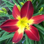 Location: My zone 5 garden.Date: 2018-07-05My very first red daylily and still going strong.  Love