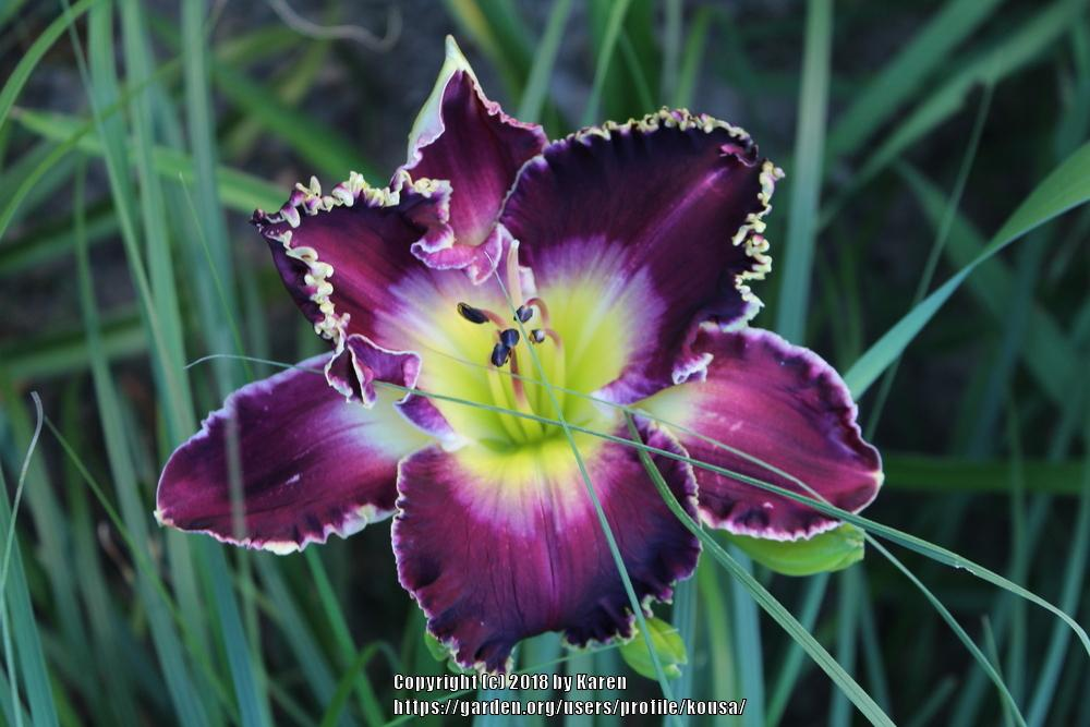 Photo of Daylily (Hemerocallis 'Soli Deo Gloria') uploaded by kousa