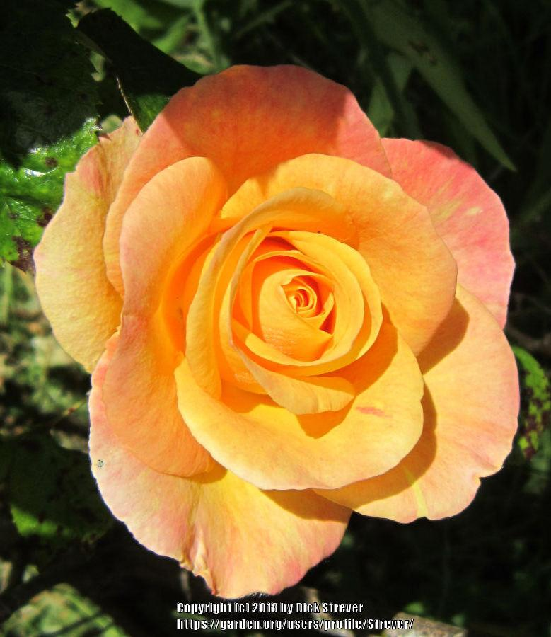 Photo of Rose (Rosa 'Sheila's Perfume') uploaded by Strever