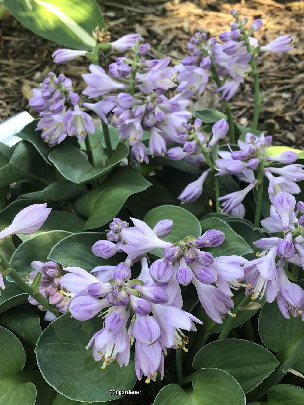 Photo of Hosta 'Blue Mouse Ears' uploaded by crawgarden